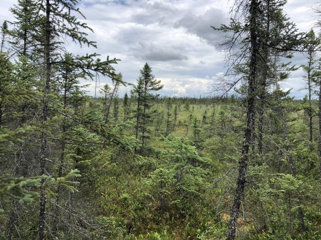 Looking through the black spruce into Big Bog State Recreation Area