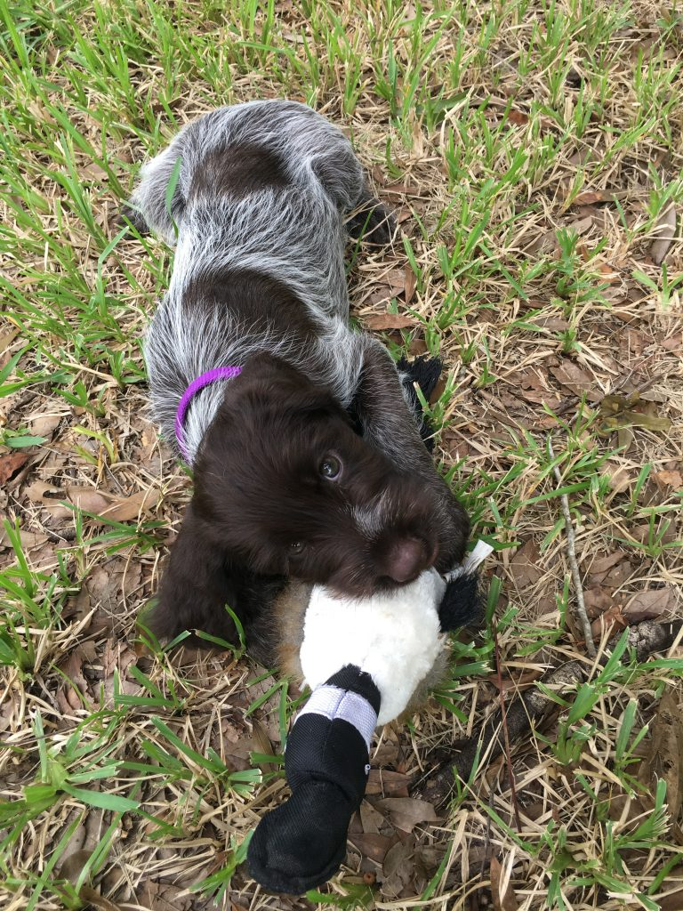 Ellie as a puppy